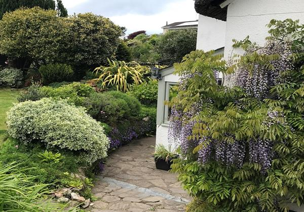 Wisteria in full bloom at Perrymans Cottage